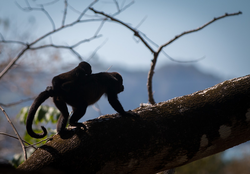 HOWLER MONKEY WITH BABY, COSTA RICA