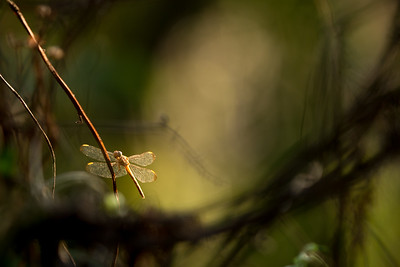 GOLDEN WING TIPPED DRAGON FLY