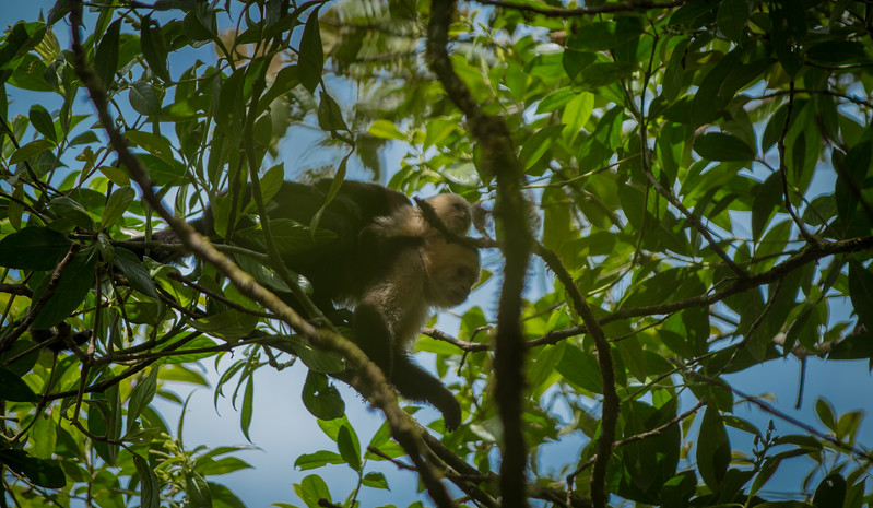WHITE FACED MONKEYS, COSTA RICA