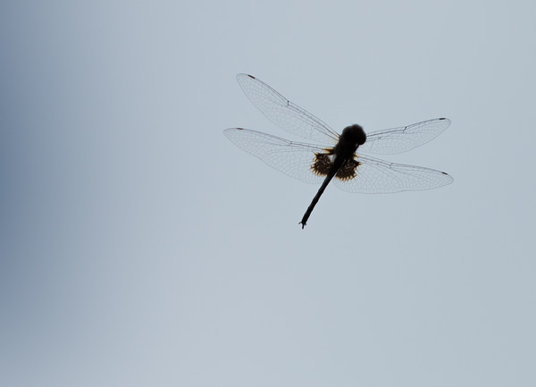 CLEAR WING DRAGON FLY, NICARAGUA
