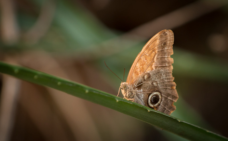COSTA RICAN OWL BUTTERFLY