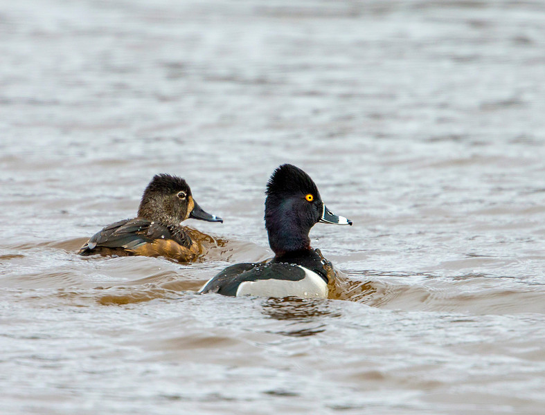 Ring neck Ducks  male and female