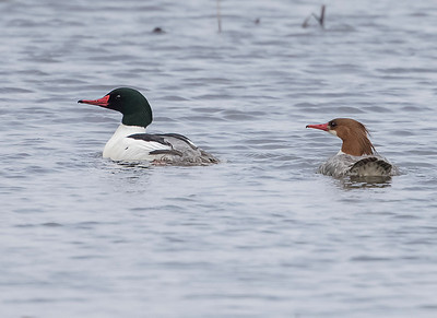Common Mergansers  male and female
