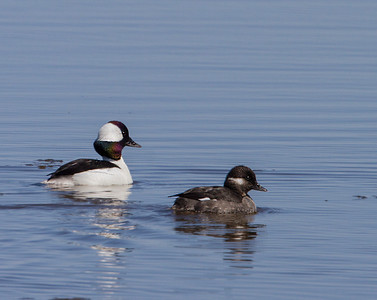 Buffleheads  male and female