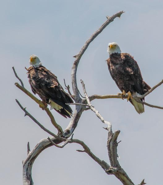Eagle pair Marine on the St. Croix