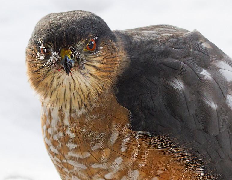 Hawk Wyoming Mn.