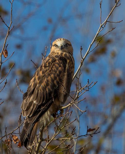 Hawk Crex Meadows