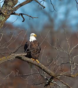 Grantsburg Wisconsin Eagle