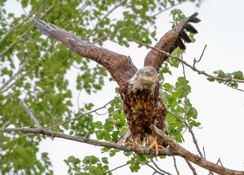 Young Eagle Crex Meadows