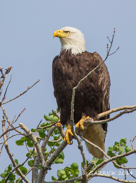 Eagle Pose Red Wing Mn.