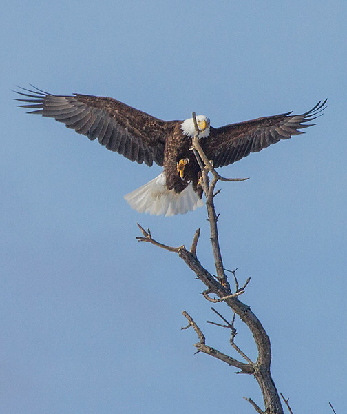 Eagle coming in for landing