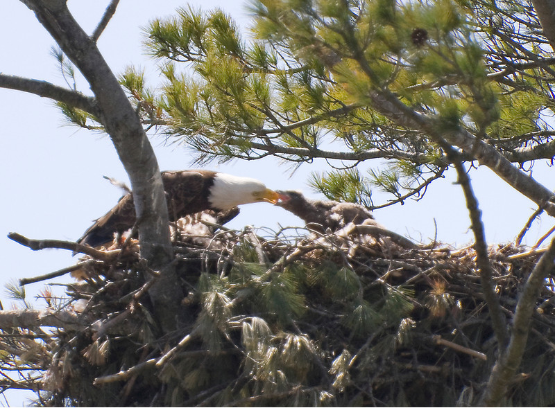 Feeding the young  Marine on the St Croix