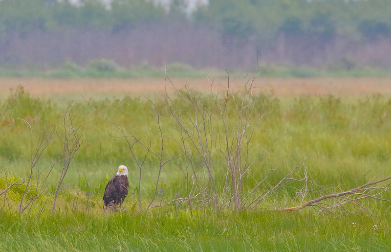 Taking a rest Eagle Crex Meadows
