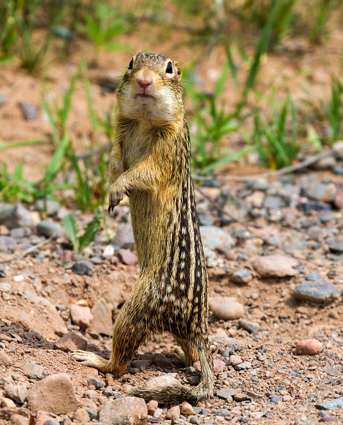 Thirteen striped ground squirrel