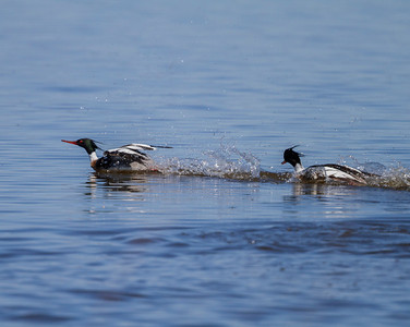 Fighting Mergansers