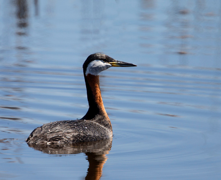 Red neck Grebe