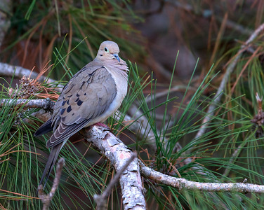 Mourning Dove  Wyoming Minnesota