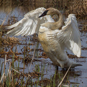 Streching out adult Swan