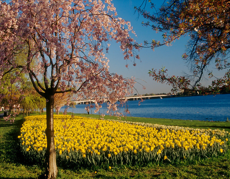 SPRING ON THE POTOMAC<br /> CHERRY BLOSSOMS AND DAFODILLS IN WEST POTOMAC PARK IN WASHINGTON D.C.