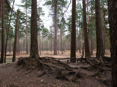 Roots of the trees in Swinley forest