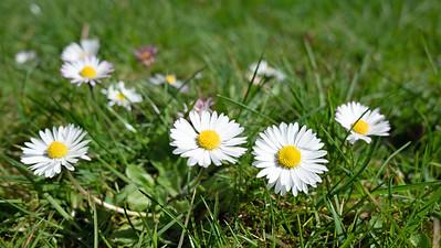 Oxeye Daisy Flowers wide photo