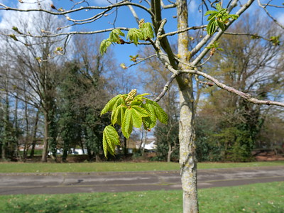 The leaves sprouting in spring