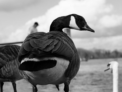 Canadian Goose stare