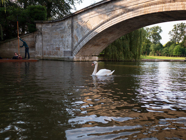 Swan, Punting at Cambridge