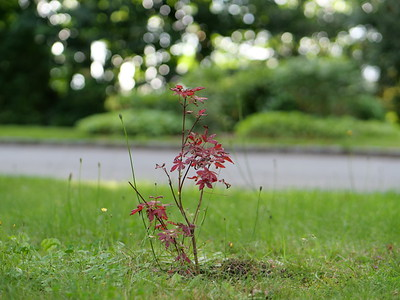 Purple Japanese Maple tree.