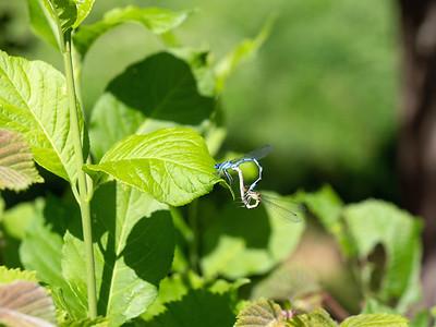 Blue Damselfly mating
