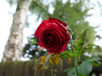 Red rose William blooming and great bokeh