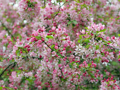 Pink and White  Cherry Blossom Bloom