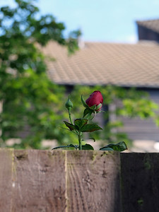 Rose bud popping above the fence