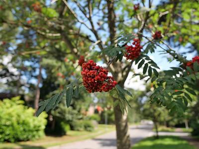 Red rowan berries
