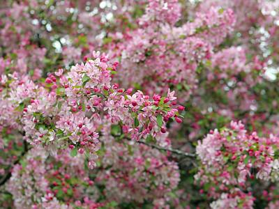 Pink and white Cherry Blossom season