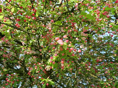 Pink cherry flowers on the tree #blossomwatch