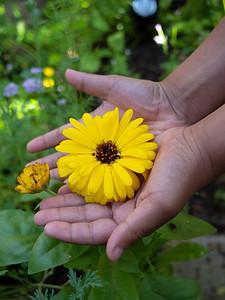 Kid holding Marigold yellow flower