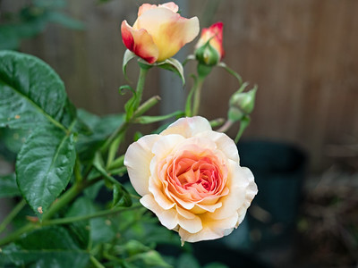 Rachel Hybrid pink rose.