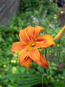 Bright Lilium 'Orange Pixie'