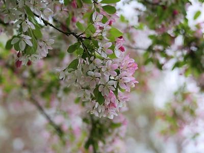 Cherry Blossom season - Pink flowers