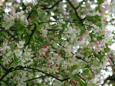 Cherry Blossom season Spring 2021