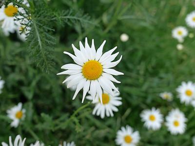 Close up of British Wild Flower - Oxeye Daisy Ox Eye