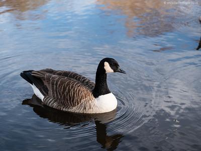 Close up of Goose