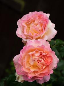 Twin Rachel Pink Rose flower