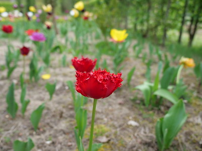 Red tulip with spikey petal