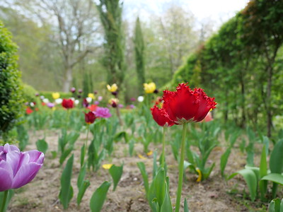 Red tulip with spikey petal in the garden