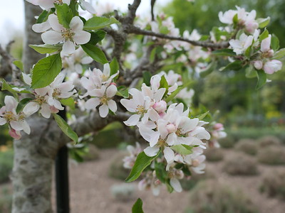 Cherry Blossoms flowers pink and white