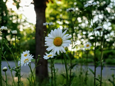 British Wild Flower - Oxeye Daisy Ox Eye