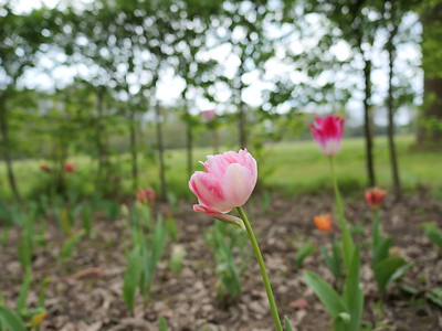 Pink tulips with a bokeh