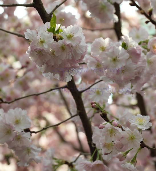 GBTB 2018 Sakura n iLIGHT